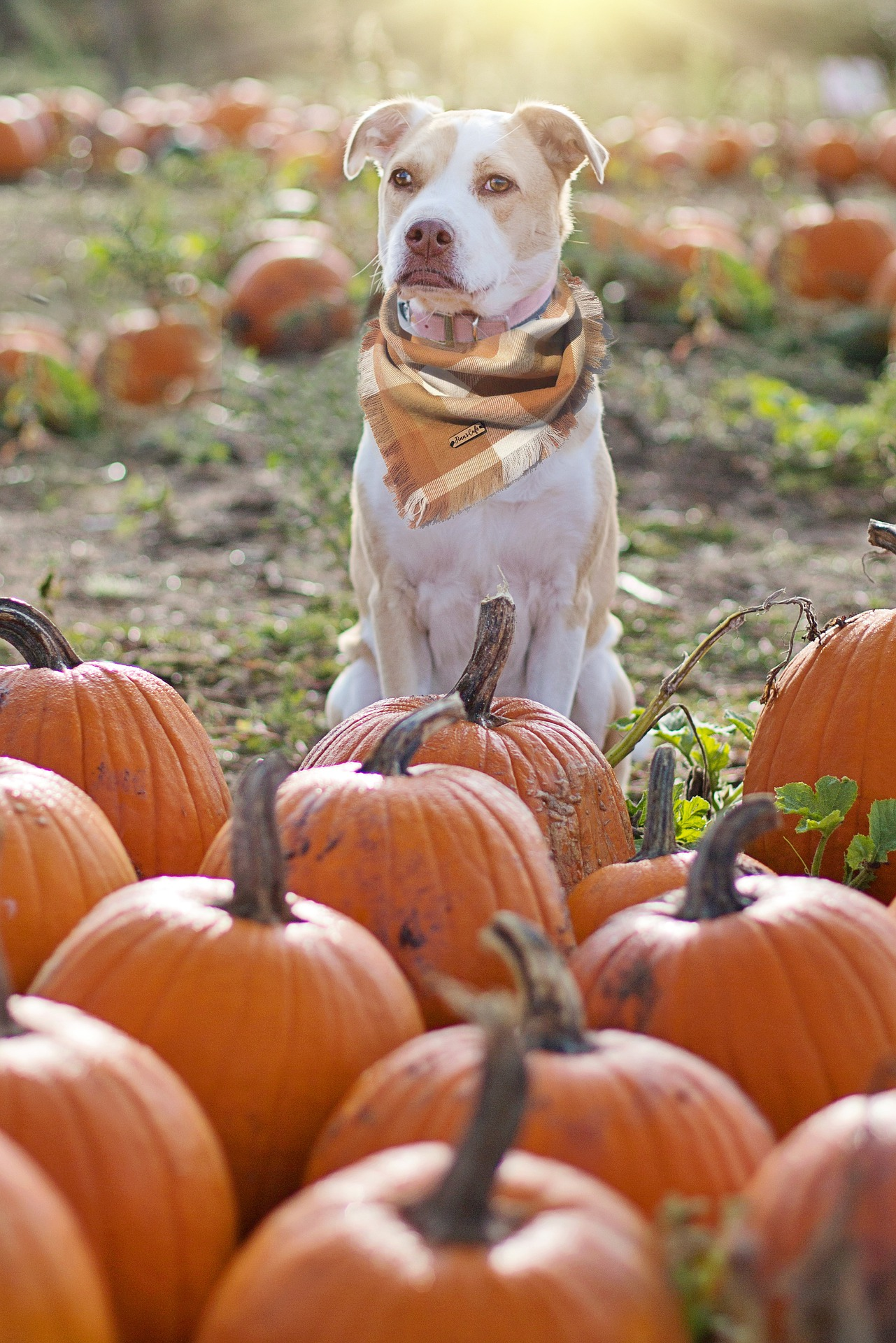 Photo of a Dog Sitting With Pumpkins