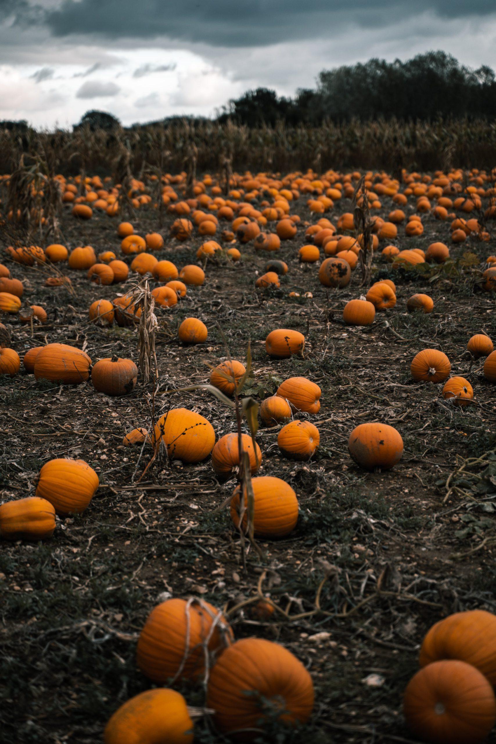 Photo of Gloomy Pumpkin Field