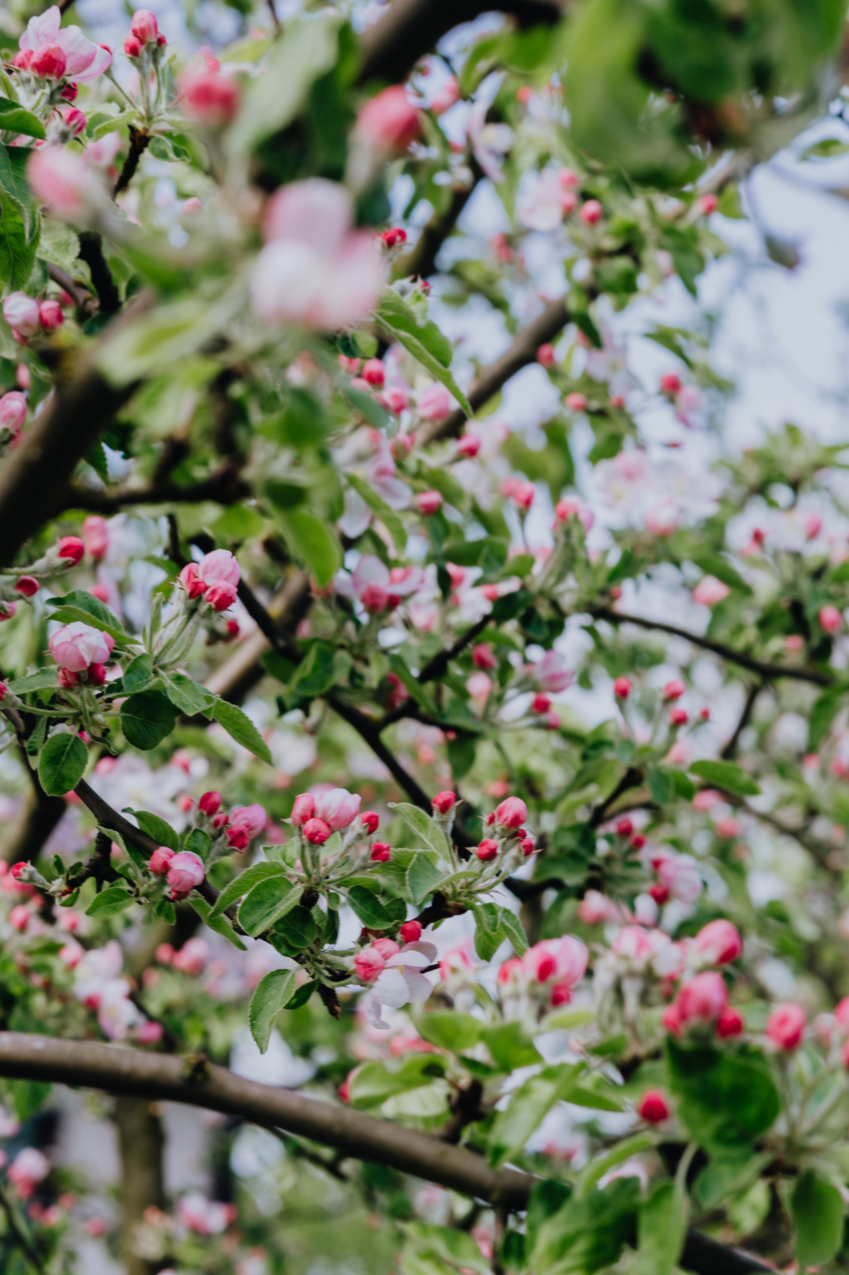 Photo of Pink Apple Blossoms on Tree