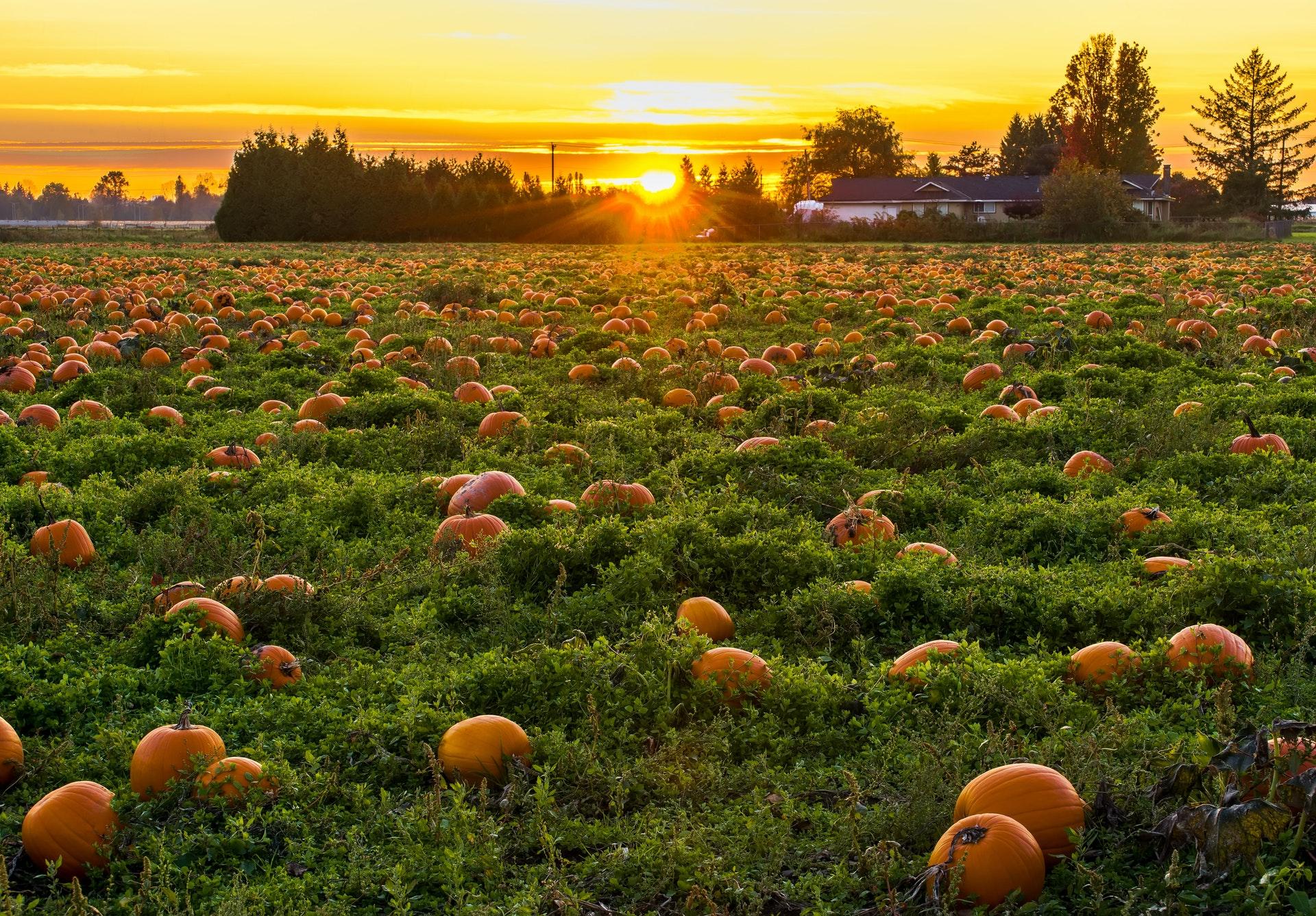 Photo of a Pumpkin Field at Sunset
