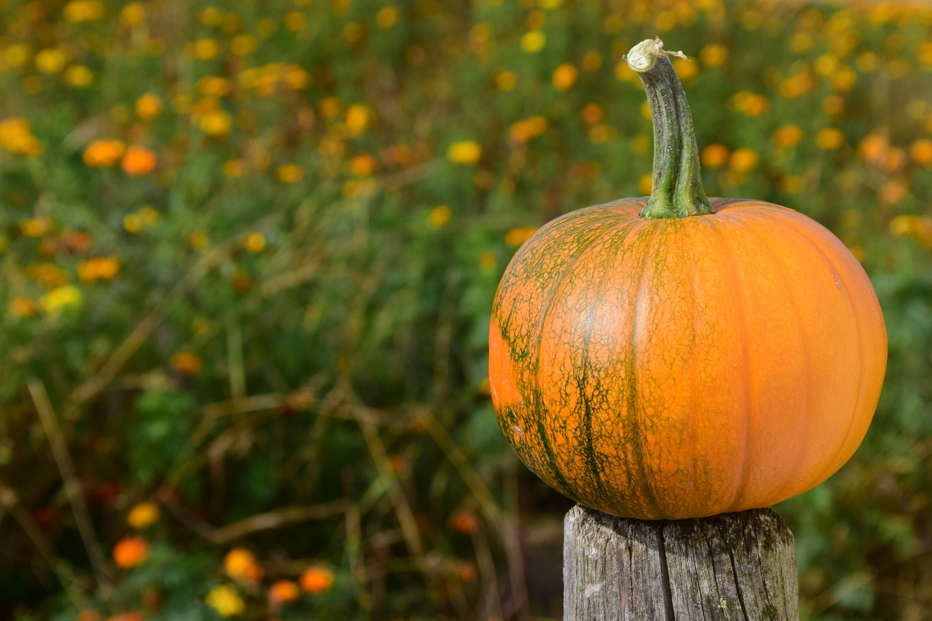 Photo of a Pumpkin on a Fence Post
