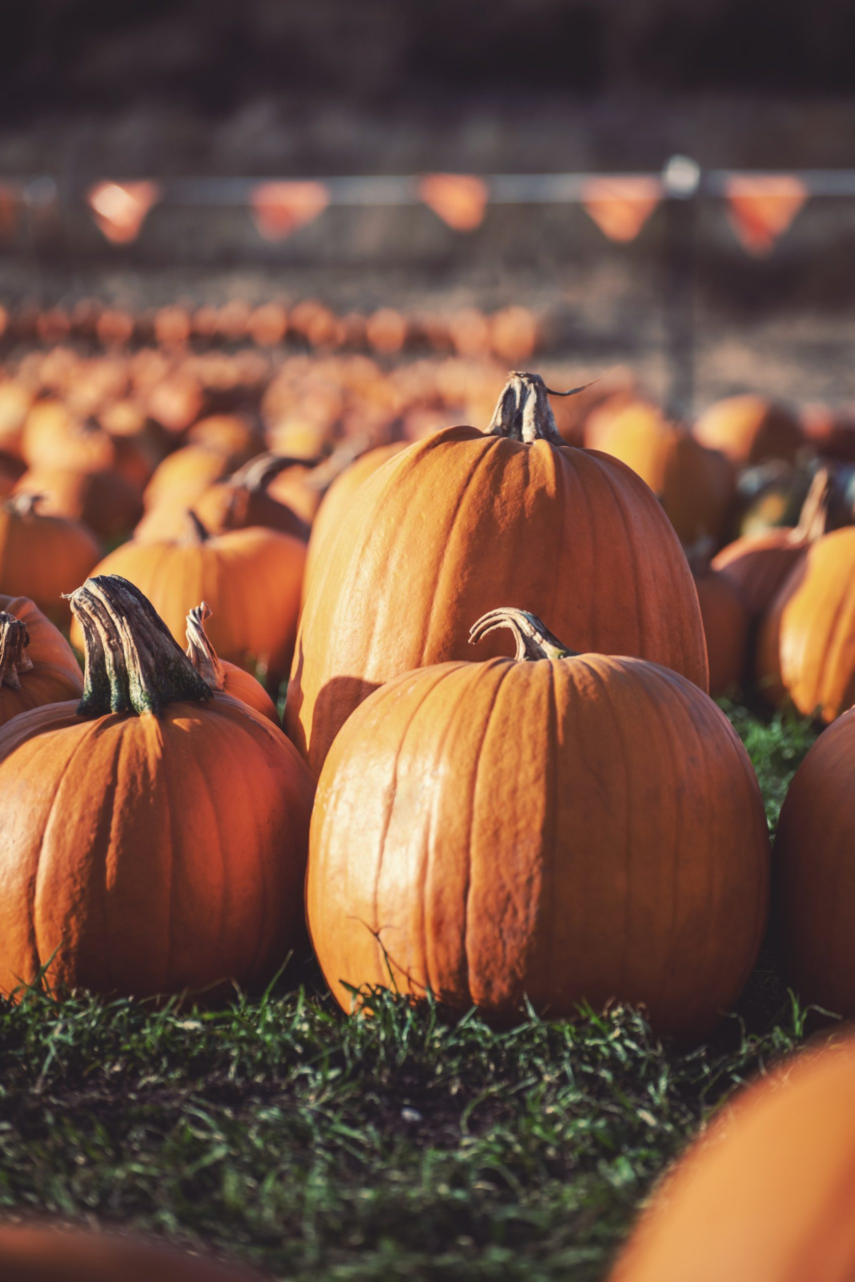 Photo of Pumpkins Sitting in the Grass